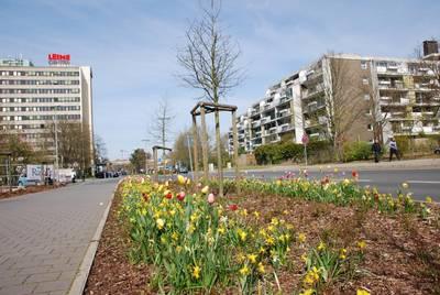 Laatzen Mitte im Frühling - Tulpen in der Markstraße